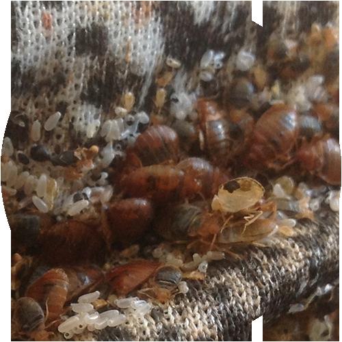 Bed Bug Exterminators Winnipeg Reliance Pest Management